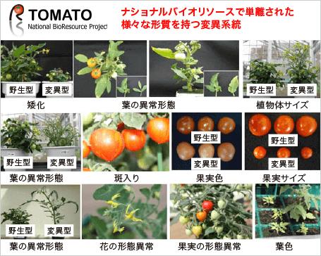 トマトリソース